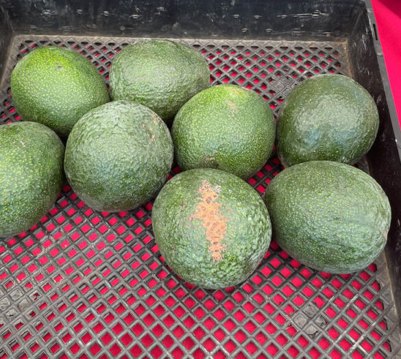 reed_avocado-garcia_farming-1